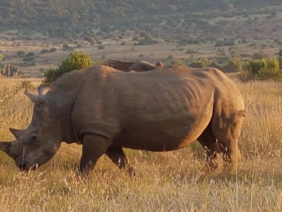 Pilanesberg Safaris and Tours: Lots of white rhinos in the park