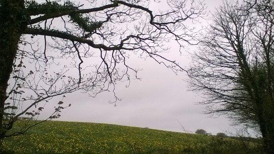 St Keverne, UK: Daffodil field