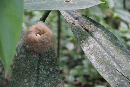 Horquetas, Costa Rica: Humming bird nest with eggs