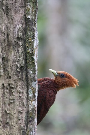 Horquetas, Costa Rica: up close and personal with this wood pecker