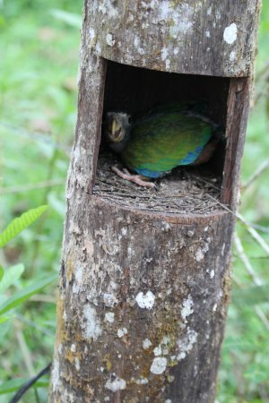 Horquetas, Costa Rica: baby parrot