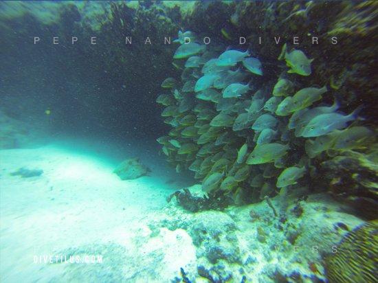Divetilus Dive Center : vida marina que encontramos en los arrecifes de Playa del Carmen