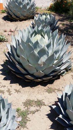 Clovis, CA: Succulents