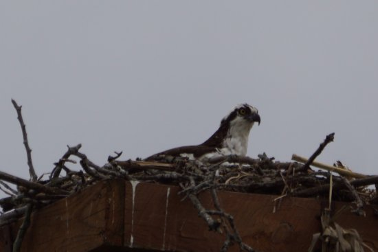 ‪‪Ticonderoga‬, نيويورك: Osprey nest at King's Garden‬