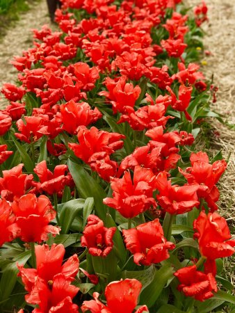 Wicked Tulips Flower Farm