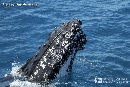 Urangan, Australia: PWF Hervey Bay Whalewatch
