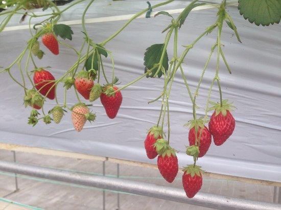 Nakajima Farm Strawberry Land: photo1.jpg