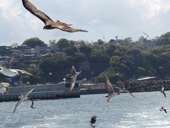 Manazuru Peninsula : これが餌付けのときのワンシーン、ものすごい迫力です。