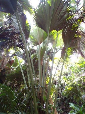 Grandes feuilles de palmier billede af vallee de mai nature reserve praslin island tripadvisor - Sortes de palmiers ...