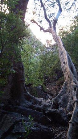 Eastern Cape, Sudáfrica: Intertwined trees