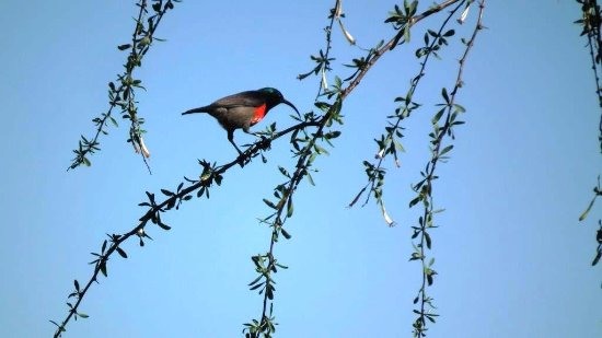 Eastern Cape, Sudáfrica: Greater double-collared sunbird