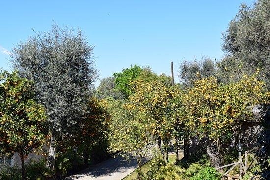 Villa Oriana Relais: Citrus Orchard