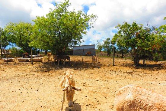 Antigua's Donkey Sanctuary: donkeys