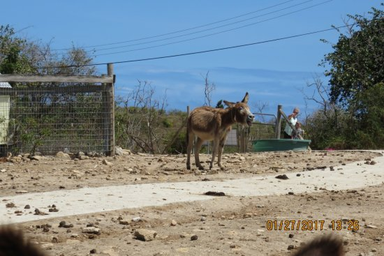 Saint Paul Parish, Antigua: donkey