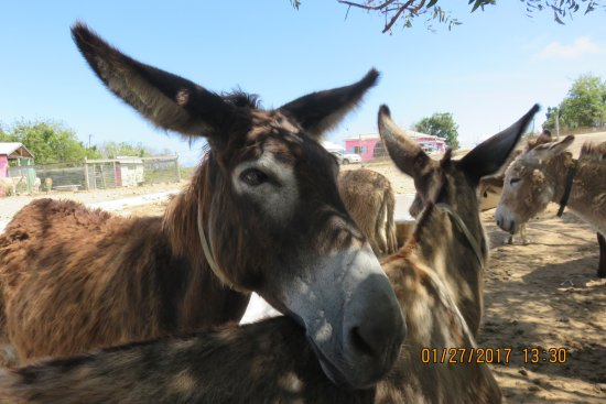 Saint Paul Parish, Antigua: donkeys