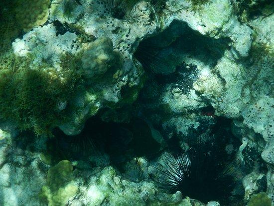 Cades Bay, Antigua: sea urchins