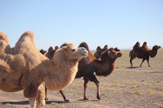 Gobi Desert Unusual 2 Humped Golden Camel
