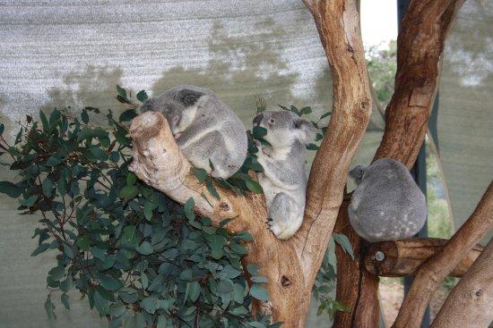 Byford, Austrália: koalas