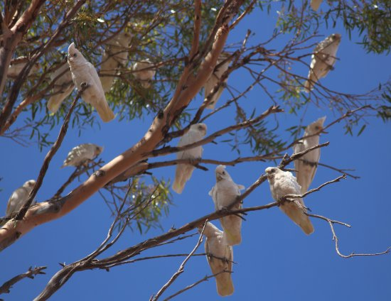 Wilmington, Australia: Cuckatoos at the showgrounds near the restaurant