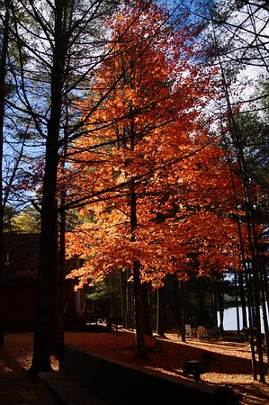 Maine Lakeside Cabins : Beautiful orange fall foliage on tree near our cabin