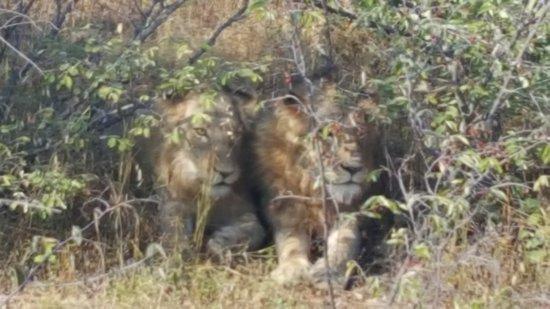 Balule Nature Reserve, Sudáfrica: Adolescent lions