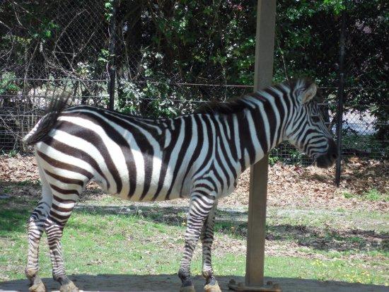 แฮตติสบูร์ก, มิซซิสซิปปี้: Zebras