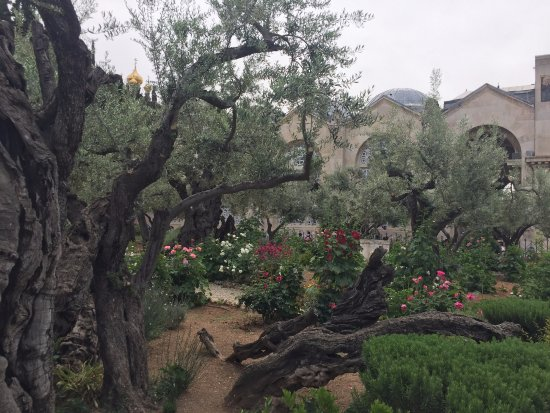 Garden Of Gethsemane 3 Picture Of Garden Of Gethsemane Jerusalem Tripadvisor
