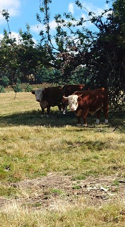Ellendale, Australia: Miniature Herefords