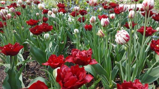 Nelis' Dutch Village: tulips