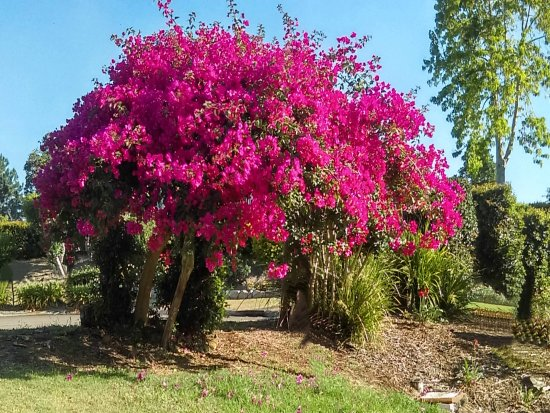 Flaxton, Αυστραλία: The property signature bougainvillea out the front