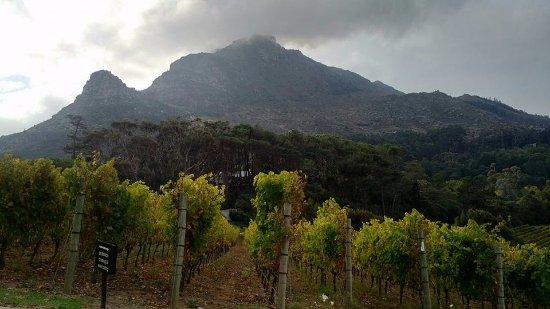 Constantia, Sudáfrica: The grapevine....