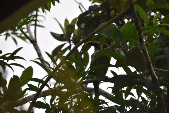 Cerro Plano, Costa Rica: Emerald Green Toucanet - not guaranteed with every room!
