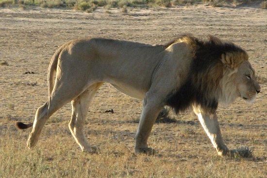 Upington, Güney Afrika: black maned lion Kgalagadi TFP