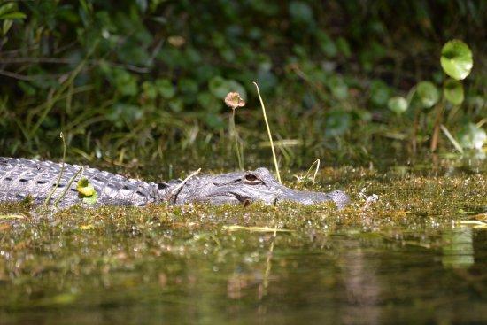 Silver Springs, FL: Gator keeping an eye on us!