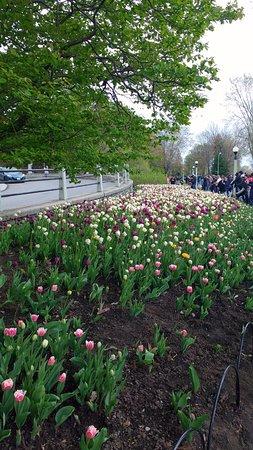 Ottawa, Kanada: Tulips