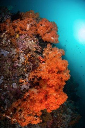 Bangka Island, Indonésie : Orange soft coral is a highlight on many Bangka dives.