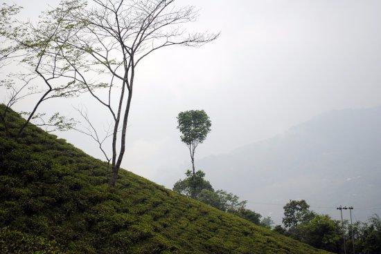 Lava, India: Jhandidanra Tea Garden