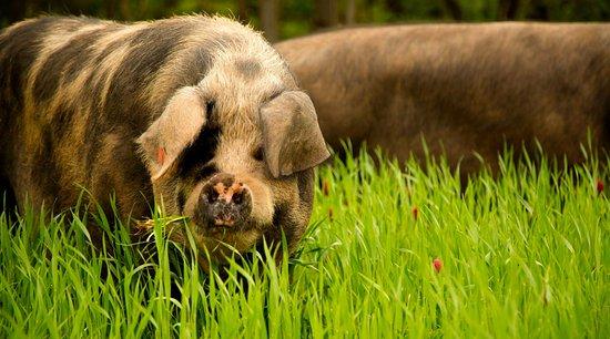 Readington, Нью-Джерси: Pasture raised pork