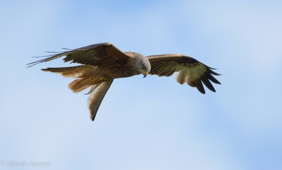 The Fox Country Inn: red kites in the area