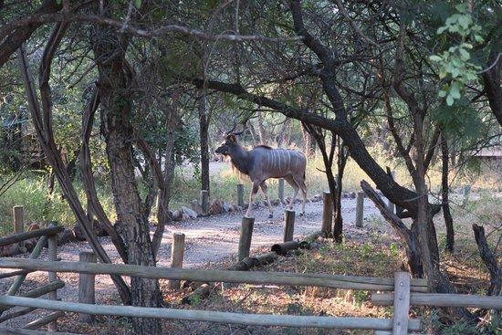Kruger National Park, South Africa: Kudu on the lodge property.