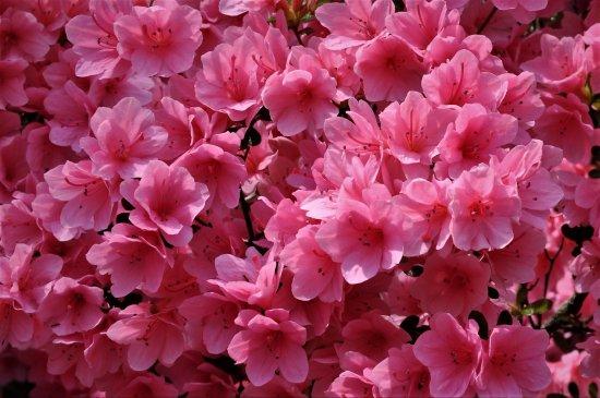 Winterthur, DE: Azalea blossoms