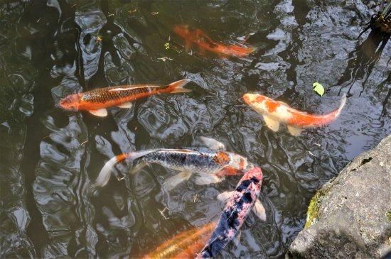 Winterthur, DE: Koi pond