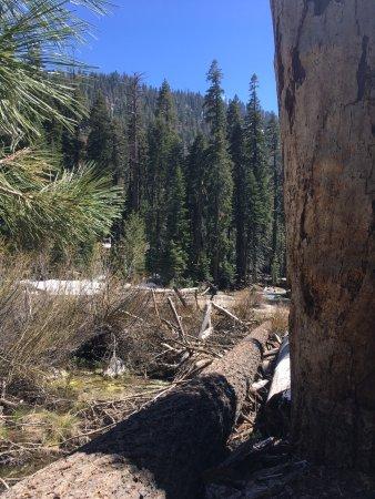 Three Rivers, CA: Fallen Tree