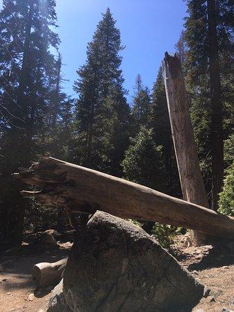 Three Rivers, CA: interesting tree