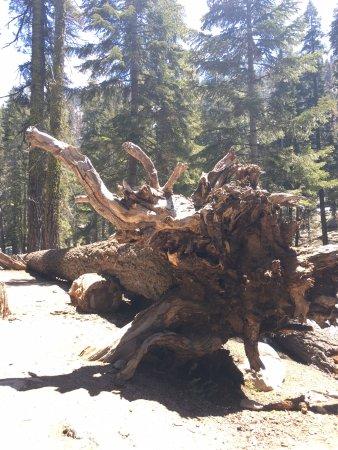 Three Rivers, CA: tree trunk