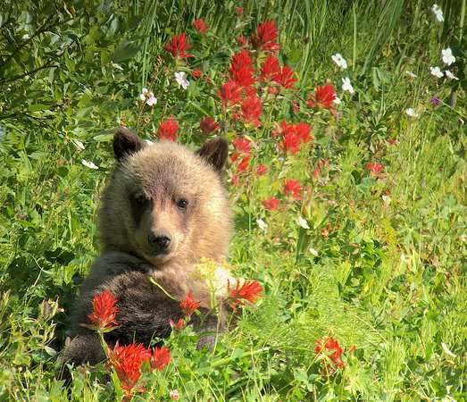 Gardiner, MT: Grizzly cub in wild flowers