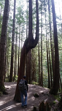 Gold Bar, WA: Interesting Tree through the Wallace Falls trail
