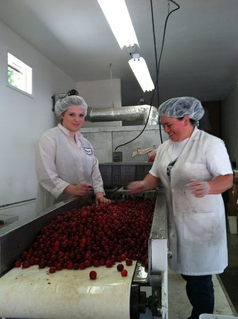 Rickreall, ออริกอน: Grading and Pitting Montmorency Tart Pie Cherries