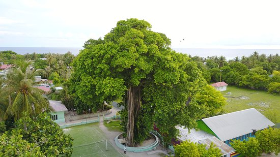 Veli Retreat: Attraction: Grand Banyan Tree of Veldihoo