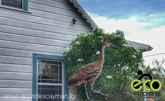East End, Gran Caimán: A beauty to see the Cayman Whistling Duck.